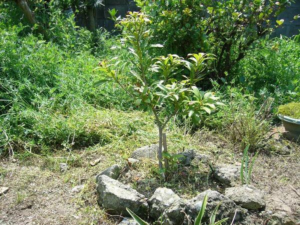 草の中から山桃の木