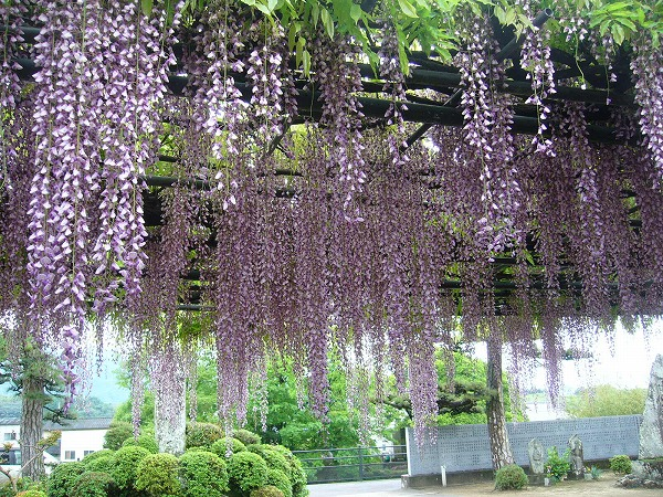 すごい! 藤の花