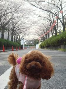 ここあ@さくらのトンネル