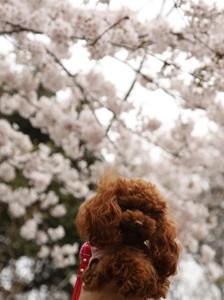 ここあ@源氏山公園の桜