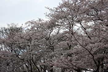 桜@森林公園