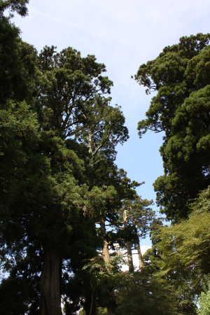 旧東海道の杉並木