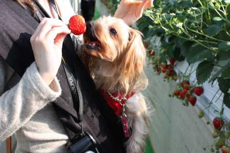 イチゴ~~♪