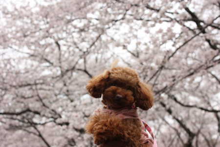 ここあと桜♪