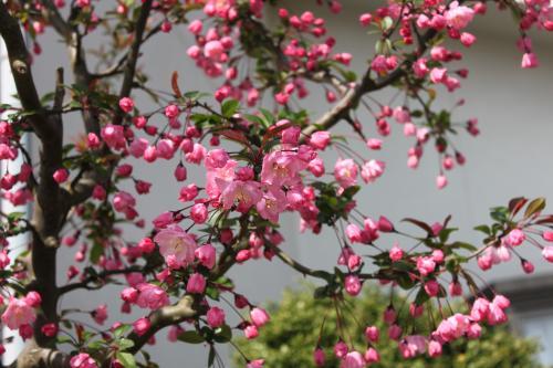 隣の桜 2