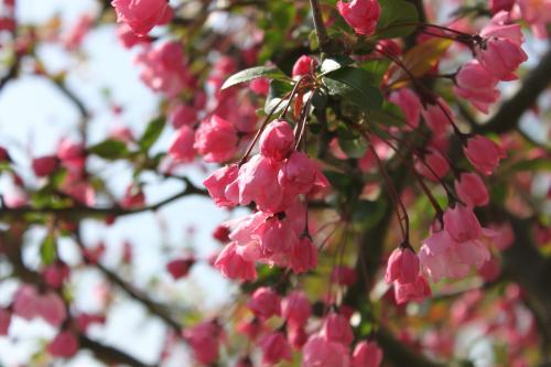 隣の桜 1