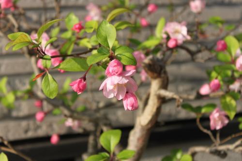 りんごの花 2