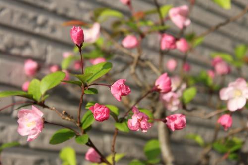 りんごの花 1