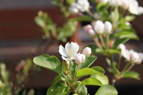 りんごの花 3