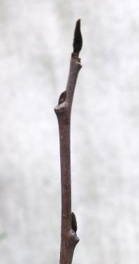 ポポー0421