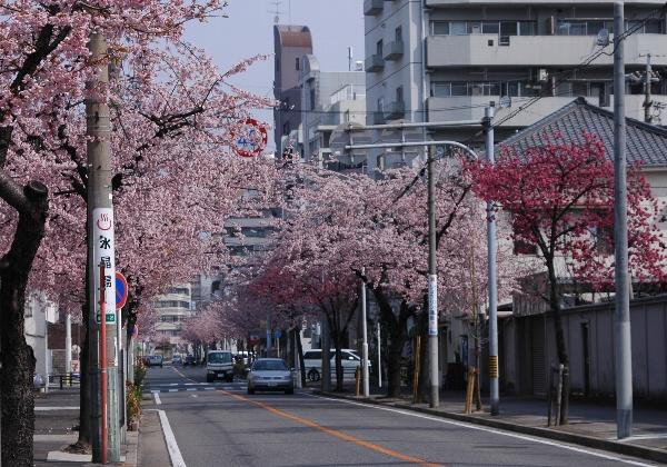 ookanzakura2.jpg