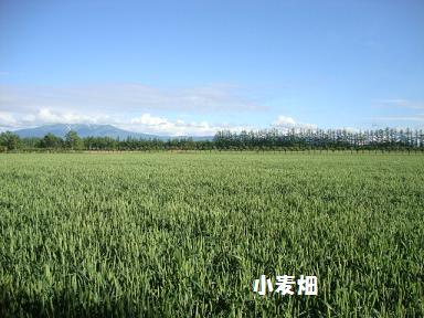 実家の小麦畑