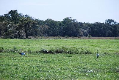 森のたね 釧路湿原 タンチョウ