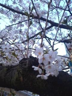 4,9 桜CAN7LVWE