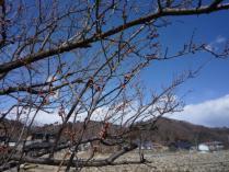 tntnH24-03-12白梅 (1)
