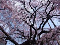 tntnH24-04-13慈雲寺のイト桜 (9)