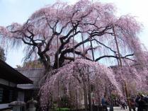 tntnH24-04-13慈雲寺のイト桜 (11)