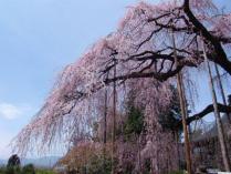 tntnH24-04-13慈雲寺のイト桜 (15)