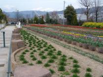 tntnH24-04-13ハーブ庭園のチューリップ (4)