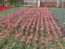tntnH24-04-13ハーブ庭園のチューリップ (3)
