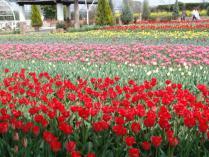 tntnH24-04-13ハーブ庭園のチューリップ (2)