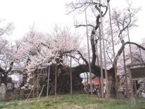 tntnH24-04-16実相寺_神代桜 (10)_1