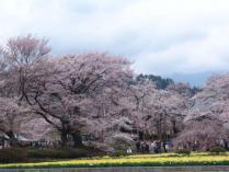 tntnH24-04-16実相寺_神代桜 (36)