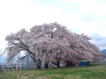 tntnH24-04-16釈迦堂近くの神社の桜 (15)_1
