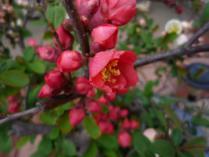 tntnH24-04-21木瓜の花 (5)