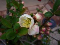 tntnH24-04-21木瓜の花 (4)