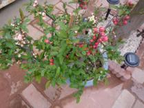 tntnH24-04-21木瓜の花 (1)