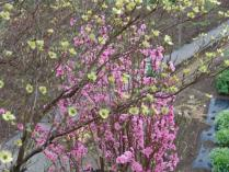 tntnH24-04-23ハナミズキと花桃 (3)