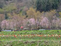 tntnH24-05-04山中湖花の森公園のチューリップ (16)