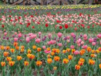 tntnH24-05-04山中湖花の森公園のチューリップ (6)