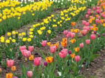 tntnH24-05-04山中湖花の森公園のチューリップ (15)