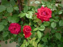 tntnH24-05-31ハーブ庭園_駐車場フェンスのバラ (10)