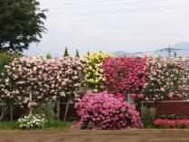 tntnH24-05-31ハーブ庭園_バラ (3)