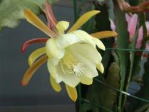 tntnH24-06-05クジャクサボテン黄色 (2)