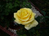 tntnH24-06-10黄色いバラ (1)