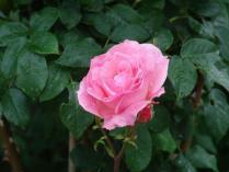 tntnH24-06-11ピンクのバラ (1)