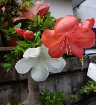tntnH24-06-10盆栽のサツキ (3)_1
