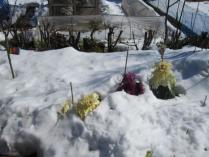 tntnH25-01-28雪に埋もれた葉ボタン (1)