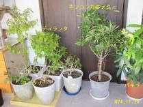 tntnH24-11-28草花の冬越し (4)