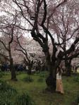 桜 in 新宿御苑3_120407