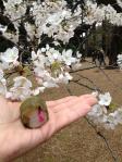 桜 in 新宿御苑2_120407