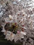桜 in 新宿御苑1_120407