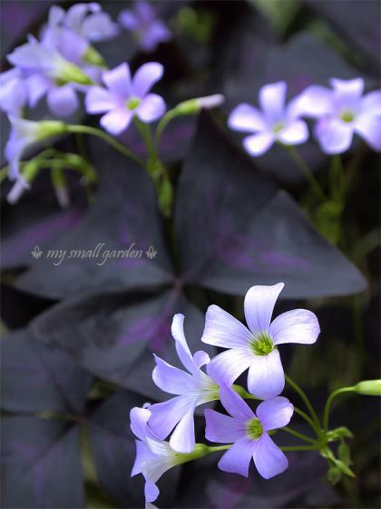 オキザリス・トライアングラリス 紫の舞
