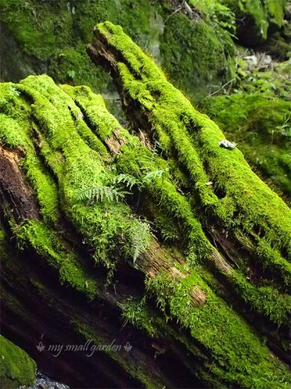 御岳山 苔生す倒木