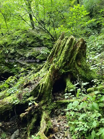御岳山 苔生す伐り株
