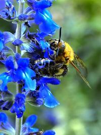 キンケハラナガツチバチ・メス